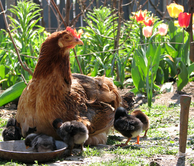 Raise-chickens-to-lay-eggs