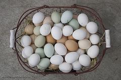 Raising-chickens-for-eggs