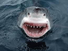 Image result for sharks rule