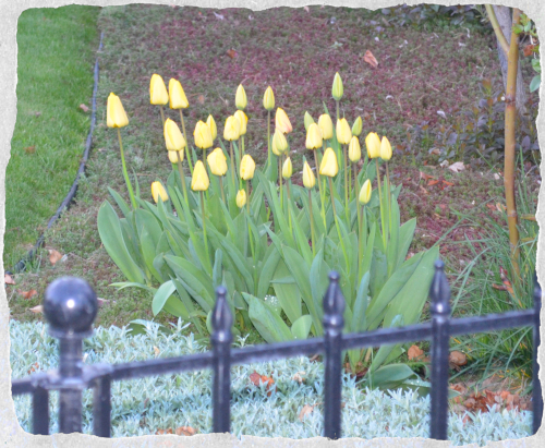 Neighbor Yellow Tulips