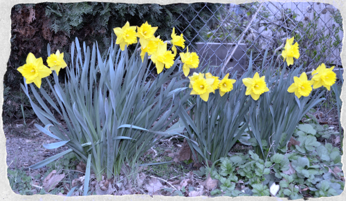Neighbor Daffodils