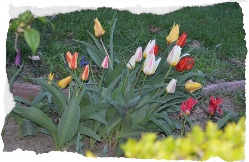 Beautiful Neighbor Tulips