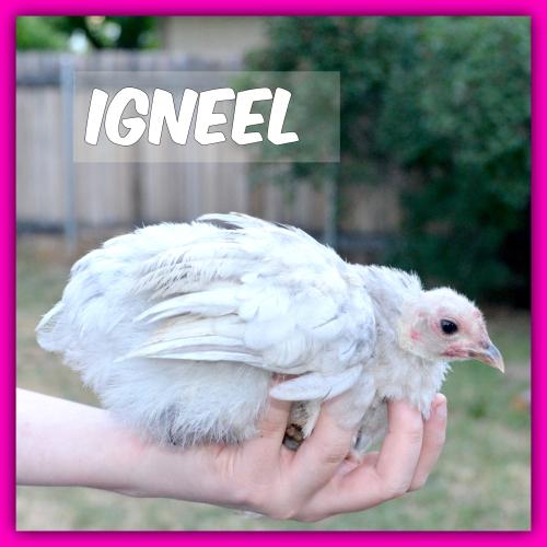 Chickens 019