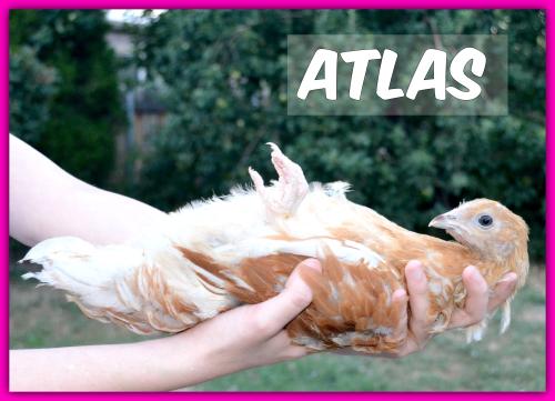 Chickens018