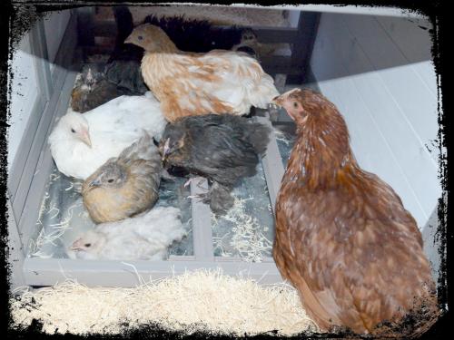Chicken Coop 004