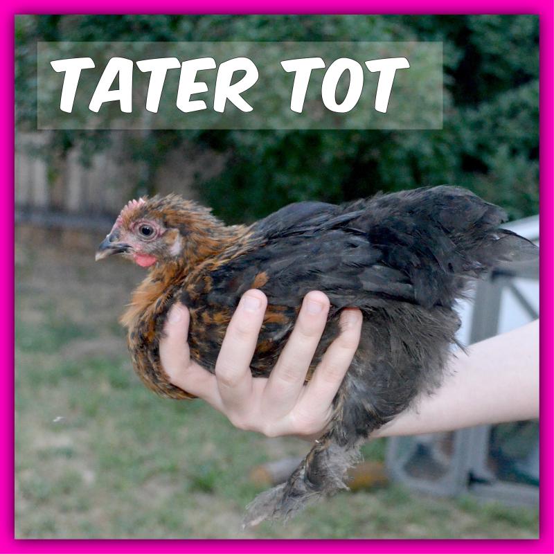 Chickens016