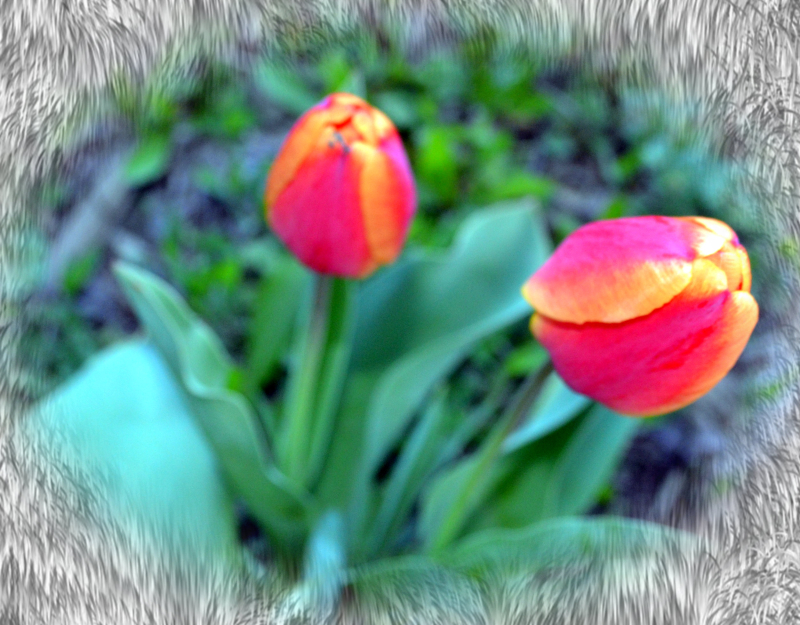 1504 Pink Orange Tulips