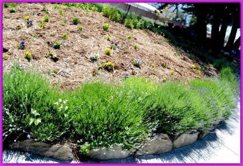 Lavender Farm Day 028