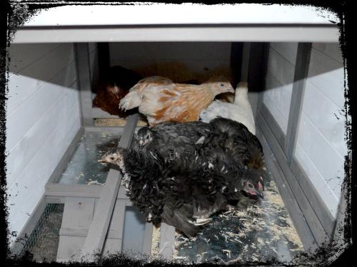 Chicken Coop 003